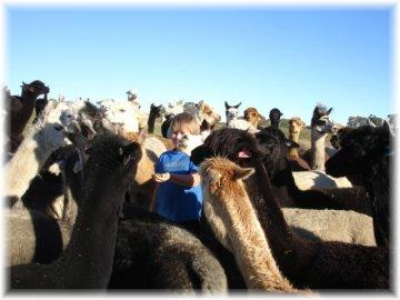 The alpacas at Surilana would love to meet you!